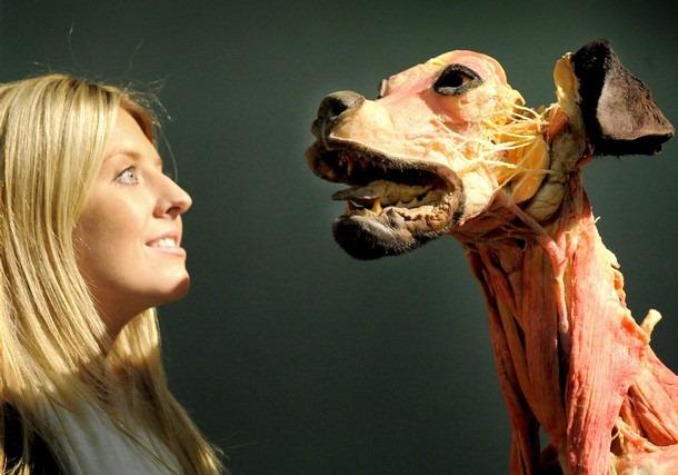 Elle découpe son chien et prend des photos (images choquantes) Body-world-animals10%5B3%5D