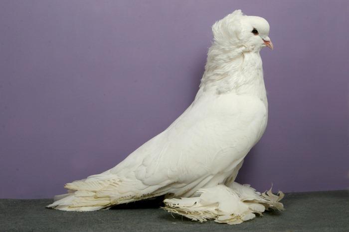 pigeons-champion14