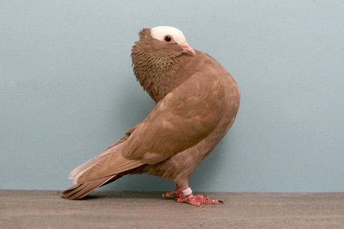 pigeons-champion18