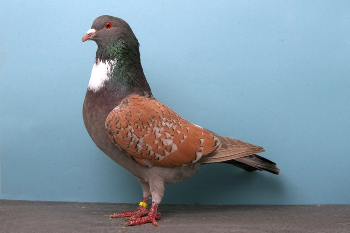 pigeons-champion6