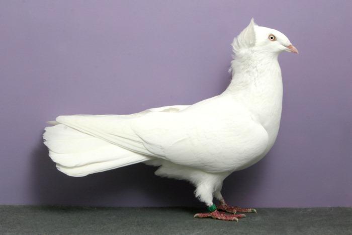 pigeons-champion9