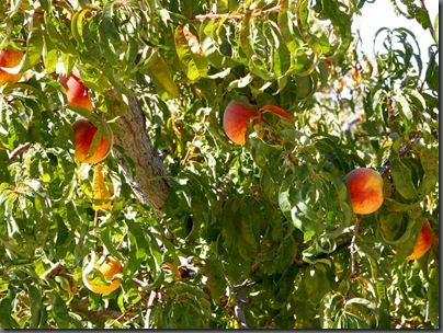 peaches on tree web(2)