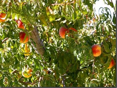 peaches on tree web(2)