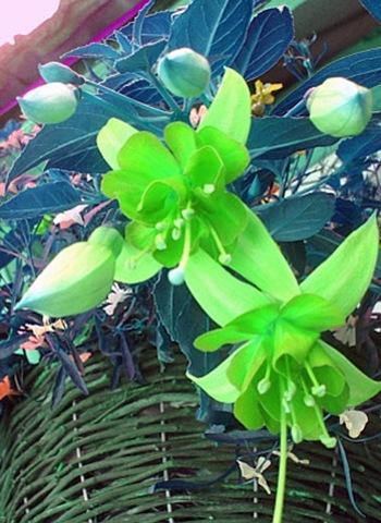 21 green fiscia