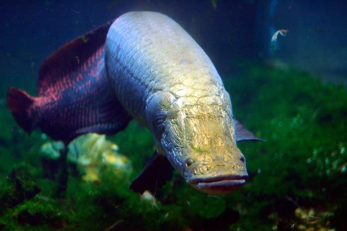 Pirarucu le plus gros poisson du monde 1 tour d 39 horizon for Gros poisson rouge