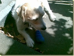 Monty and the blue bandage (2)