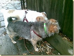 Monty and Daisy find mice in the rain (5)