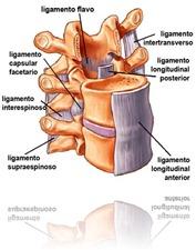 vertebra con ligamentos