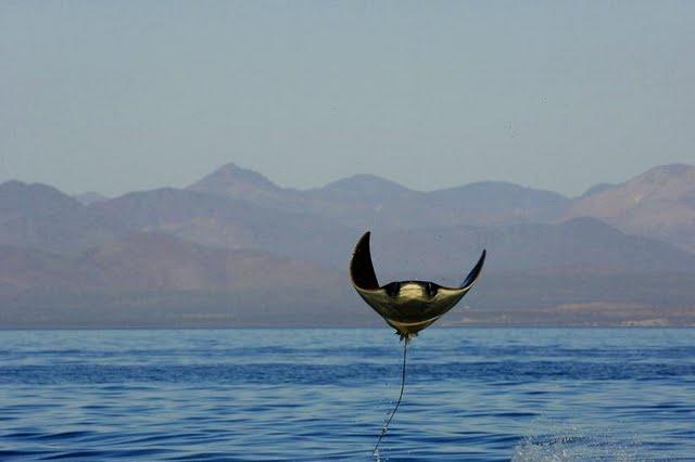 Manta Ray (bir tür yassı köpekbalığı)