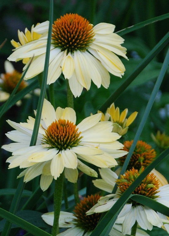 Harvest Moon Coneflowers