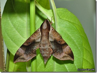 Enpinanga borneensis (f)-GanHome_20100111_D4961-640