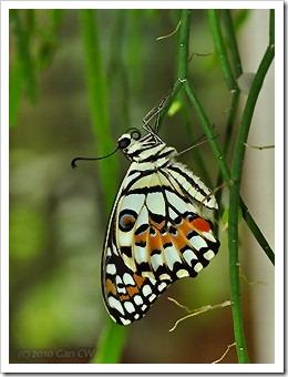Papilio demoleus malayanus-20100119_D5016-320