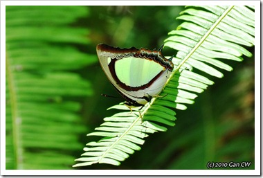 Polyura jalysus-MYFHRaub_20100322_D5951-640