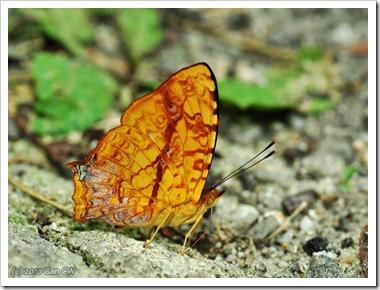 Symbrenthia lilaea luciana-MYFH_20100415_D6512-640