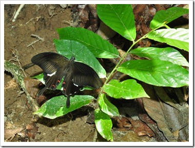 Papilio helenus helenus-MYFHRaub_20100416_D6867-640