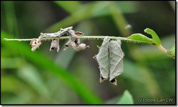 Neptis hylas papaja-MYBunker-20090222_0068-600