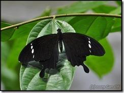 Papilio nephelus annulus-MYGopeng_20090313_0652-480