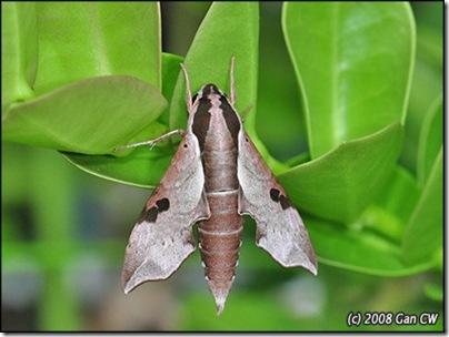 Enpinanga borneensis-200812-DSC_2162
