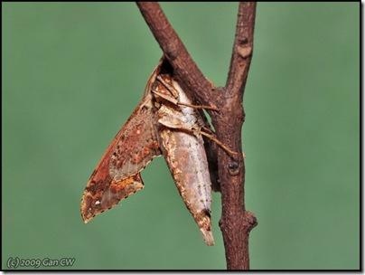 Eupanacra elegantulus-20090109_2656-640
