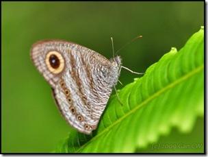 Ypthima fasciata torone-MYFHAdv_20090329_0687-480