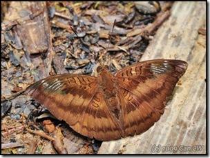 Euthalia alpheda langkawica-MYFHAdv_20090331_1059-480