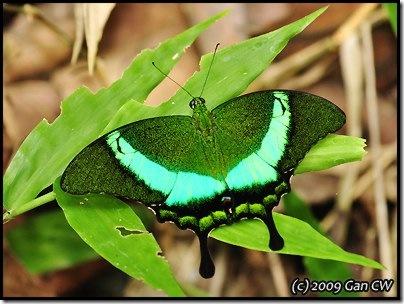 Papilio palinurus palinurus-MYFHKKB_20090425_0841-400