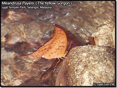 Meandrusa_payeni-MYTemploer-19960911-DC0004L