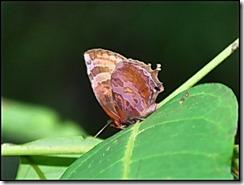 Flos apidaqnus saturata-20090531 13-05-40 - 0067