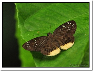 Mooreana trichoneura trichoneura-MYGopeng_20090627_3503-480