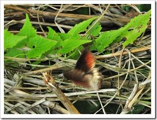 Elymnias panthera panthera-MYFH_20090630_3221-480
