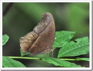 Coelites epiminthia epiminthia-MYBunker_20090816_4374-480