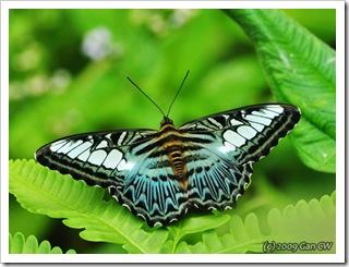 Parthenos sylvia apicalis-Th_SoppongLimeStoneHill_20090904_4864-480