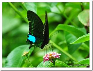 Papilio paris paris-Th_Soppong_20090902_5486-480