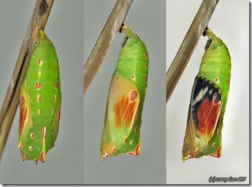 3-Elymnias hypermnestra tinctoria-Th_Soppong_20090927_DSC_2247-640