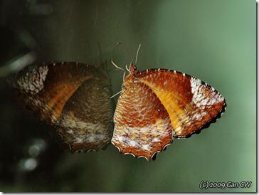 Elymnias hypermnestra tinctoria-Th_Soppong_20090928_DSC_2277-640
