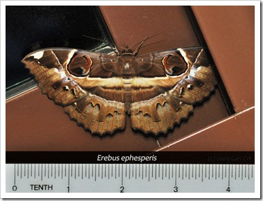 NOC-Erebus ephesperis-20091017 - DSC_2535-640