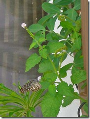 Ideopsis vulgaris macrina-GanHome-20091102_DSC05627-480
