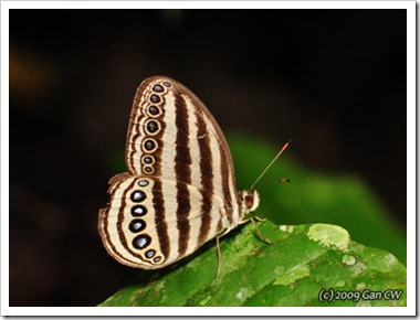 Ragadia makuta siponta-MYUluYam-20091205_D4083-480