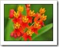 Blood Flower-20090414_0122-480
