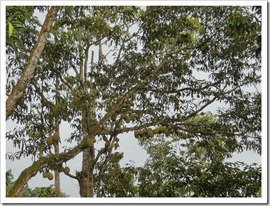 Durian-20100629_DSC01507
