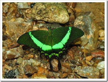 Papilio palinurus palinurus-MYGuaTempurong_20100701_D8938-640