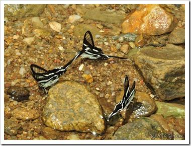 Lamproptera curius curius-MYGuaTempurong_20100629_D8543-640