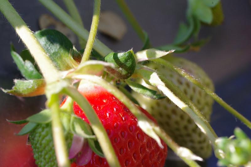 艷到爆的蘭花和紅到爆的草莓