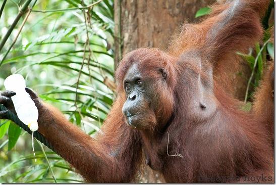 Semengoh Orangutan Rehabilitation Center 44