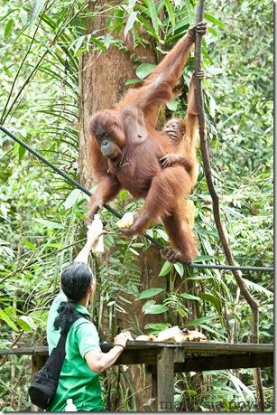 Semengoh Orangutan Rehabilitation Center 40