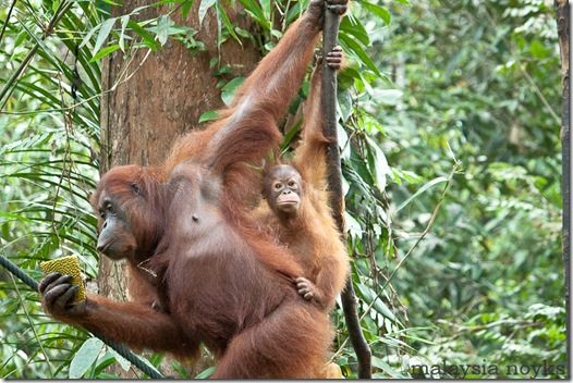 Semengoh Orangutan Rehabilitation Center 37