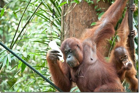 Semengoh Orangutan Rehabilitation Center 48