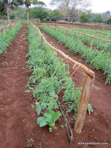 Tomatoes, young and trellised