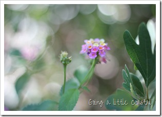 lantana-auto