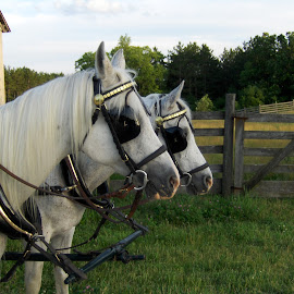 by Timothy Hatch - Animals Horses ( farm, blinders, bridle, pair, white )